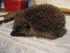 Hundredth hedgehog arrives at Pembrokeshire Hogspital